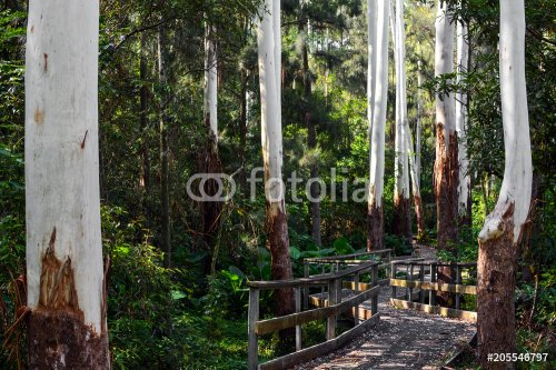 Boarded walkway on a path through eucalyptus trees with bare white trunks in NSW, Australia