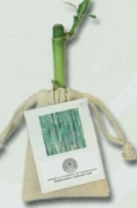 Lucky Bamboo Stalk W/ Printed Hand Tag